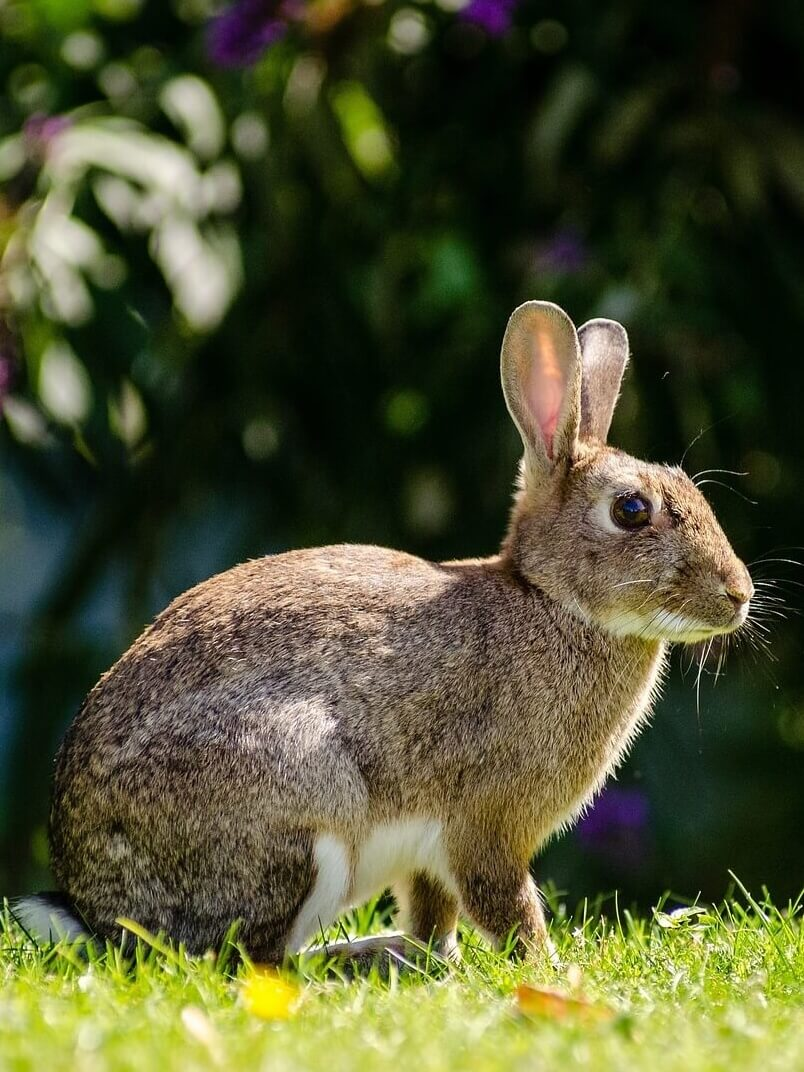 Conejo común europeo